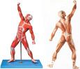 人体全身肌肉运动模型,人体肌肉解剖模型