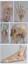 Erler Zimmer天然骨骼X-Ray训练模体