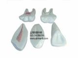 牙解剖模型