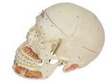 头颅骨附血管神经模型  产品货号: wi114380 产    地: 国产