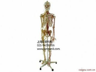 人体骨骼附主要动脉和神经分布模型