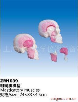 咀嚼肌模型