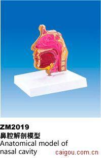 鼻腔解剖模型