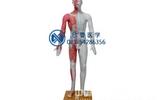 人體針灸模型,人體針灸穴位模型