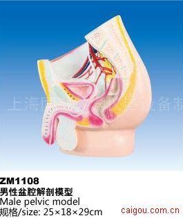 男性盆腔解剖