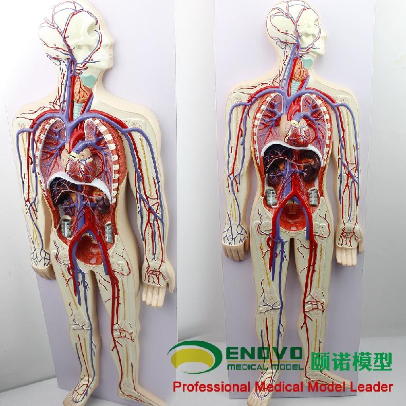 enovo颐诺人体血液循环系统模型体肺循环心血管介入心脏解剖模型